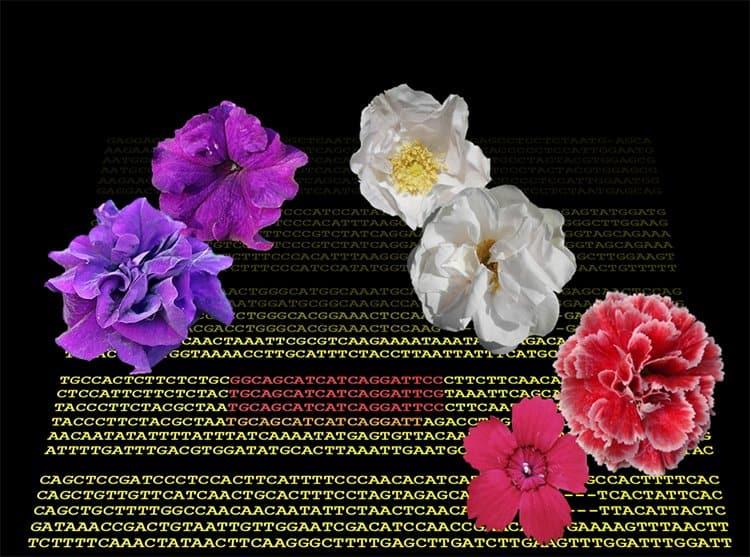 """Rose, garofani e petunie: la """"petalosità"""" è dovuta a un gene troppo operoso"""
