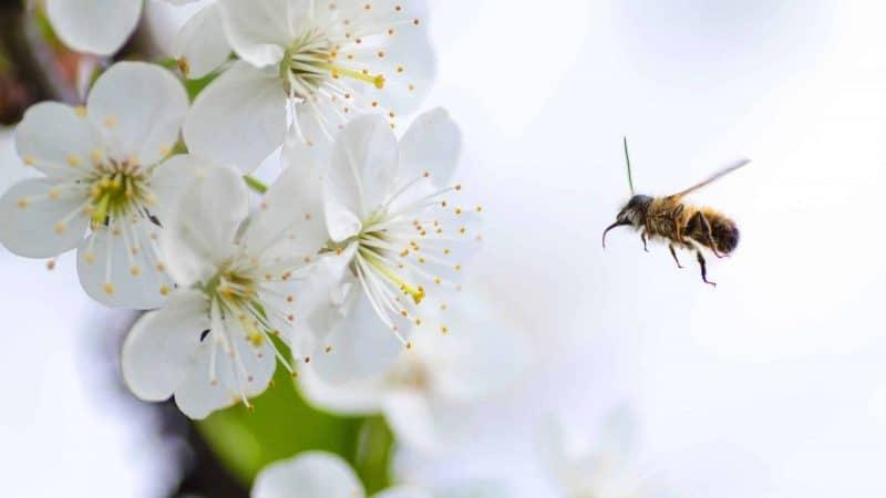 Campi elettromagnetici responsabili della progressiva estinzione delle api?