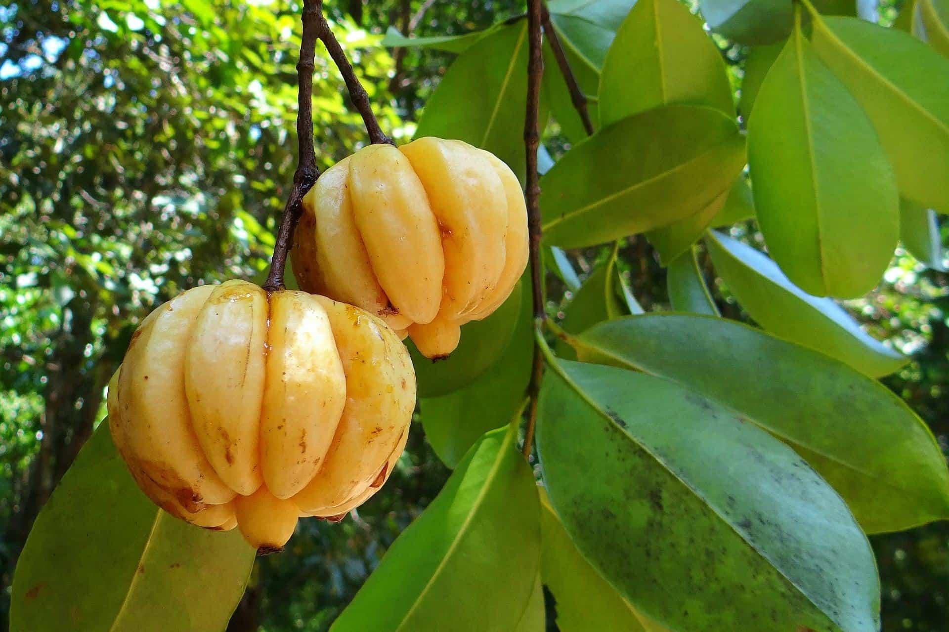 La Garcinia Cambogia è utile per dimagrire?