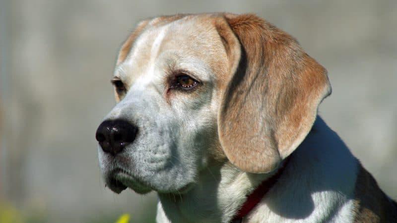 Cani addestrati per fiutare il Covid-19: al via l'addestramento
